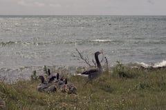Gansos grises con sus polluelos Foto de archivo libre de regalías