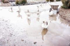 Gansos grises del pueblo en un charco farming foto de archivo libre de regalías