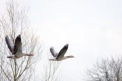 Gansos grises que vuelan en primavera fotos de archivo libres de regalías