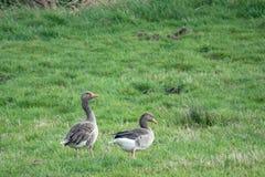 2 gansos grises se colocan en un prado y cacarean y comen imagen de archivo libre de regalías