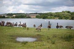 Gansos hermosos de Canadá en el lago de Broadwood, Cumbernauld Escocia fotos de archivo