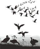 Gansos - migración coa alas Fotografía de archivo libre de regalías