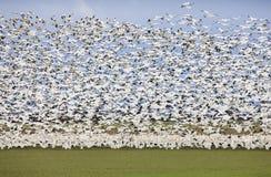 Gansos migratórios imagem de stock