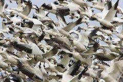 Gansos migratorios Fotos de archivo libres de regalías