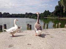 Gansos na lagoa imagens de stock royalty free