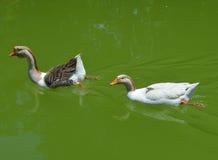 Gansos na lagoa Foto de Stock Royalty Free
