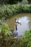 Gansos na lagoa fotos de stock royalty free