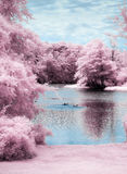 Gansos na lagoa imagem de stock
