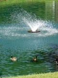 Gansos na lagoa ondulada fotos de stock