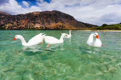 Gansos na superfície do lago Kournas na Creta da ilha, Grécia imagem de stock royalty free