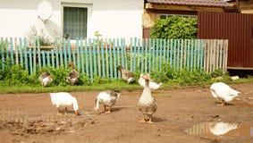 Gansos na vila Fotografia de Stock