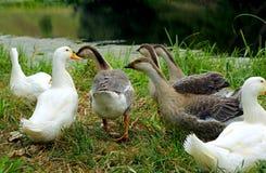 Gansos no banco de uma lagoa Foto de Stock