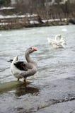 Gansos no beira-rio Imagens de Stock