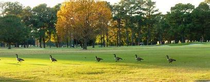 Gansos no campo de golfe Fotografia de Stock