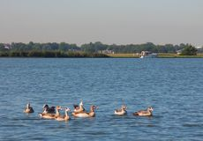 Gansos no lago Fotografia de Stock Royalty Free