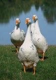 Gansos no lago Fotografia de Stock