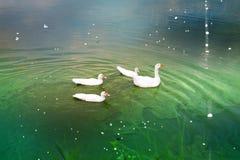 Gansos no lago imagens de stock royalty free