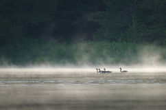 Gansos no lago enevoado imagem de stock royalty free