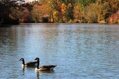 Gansos no lago, folhagem de outono fotos de stock
