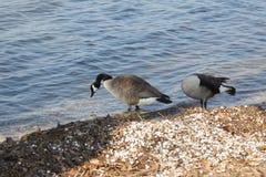 Gansos no lago foto de stock royalty free