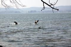 Gansos no lago imagem de stock royalty free