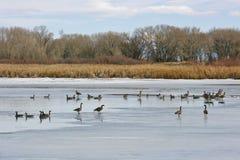 Gansos no pantanal congelado Fotos de Stock