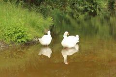 Gansos no rio de Malse, Czechia imagens de stock royalty free