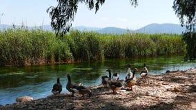 Gansos nos rios mediterrâneos 12 video estoque