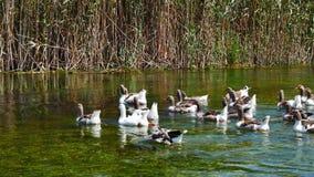 Gansos nos rios mediterrâneos 11 vídeos de arquivo