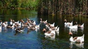 Gansos nos rios mediterrâneos 09 vídeos de arquivo