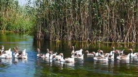 Gansos nos rios mediterrâneos 10 filme