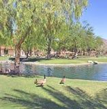 Gansos perto de uma lagoa no parque foto de stock