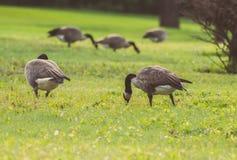 Gansos que andam e que comem na grama verde Fotos de Stock