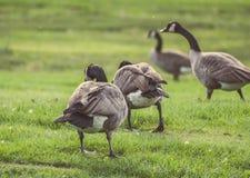 Gansos que andam e que comem na grama verde Fotografia de Stock