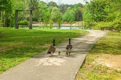Gansos que andam no parque fotografia de stock royalty free