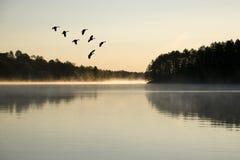 Gansos que aterram no nascer do sol Fotografia de Stock