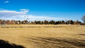 Gansos que aterrizan en campo de fútbol con el cielo azul y las nubes de cirro foto de archivo libre de regalías