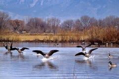 Gansos que aterrizan en un lago Foto de archivo libre de regalías