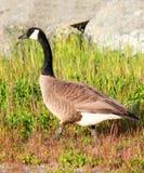 Gansos que caminan del ganso canadiense en hierba Imagen de archivo libre de regalías