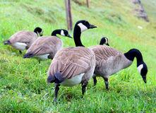 Gansos que caminan del ganso canadiense en hierba Fotografía de archivo