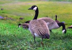 Gansos que caminan del ganso canadiense en hierba Fotografía de archivo libre de regalías