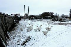 Gansos que caminan en el pueblo ruso del invierno imagen de archivo libre de regalías