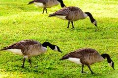 Gansos que caminan en hierba Imagen de archivo libre de regalías