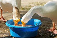 Gansos que comem na jarda das aves domésticas Fotografia de Stock