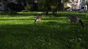 Gansos que comen la hierba en el césped verde, concepto del ecosistema de la ciudad almacen de metraje de vídeo