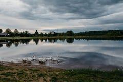 Gansos que flotan en el agua Imagen de archivo libre de regalías