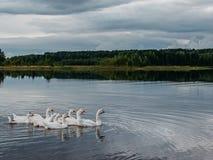 Gansos que flotan en el agua Imagen de archivo