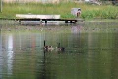 Gansos que nadam Fotografia de Stock Royalty Free
