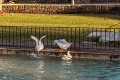 Gansos que nadam no lago fotografia de stock