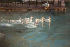 Gansos que nadam no lago foto de stock